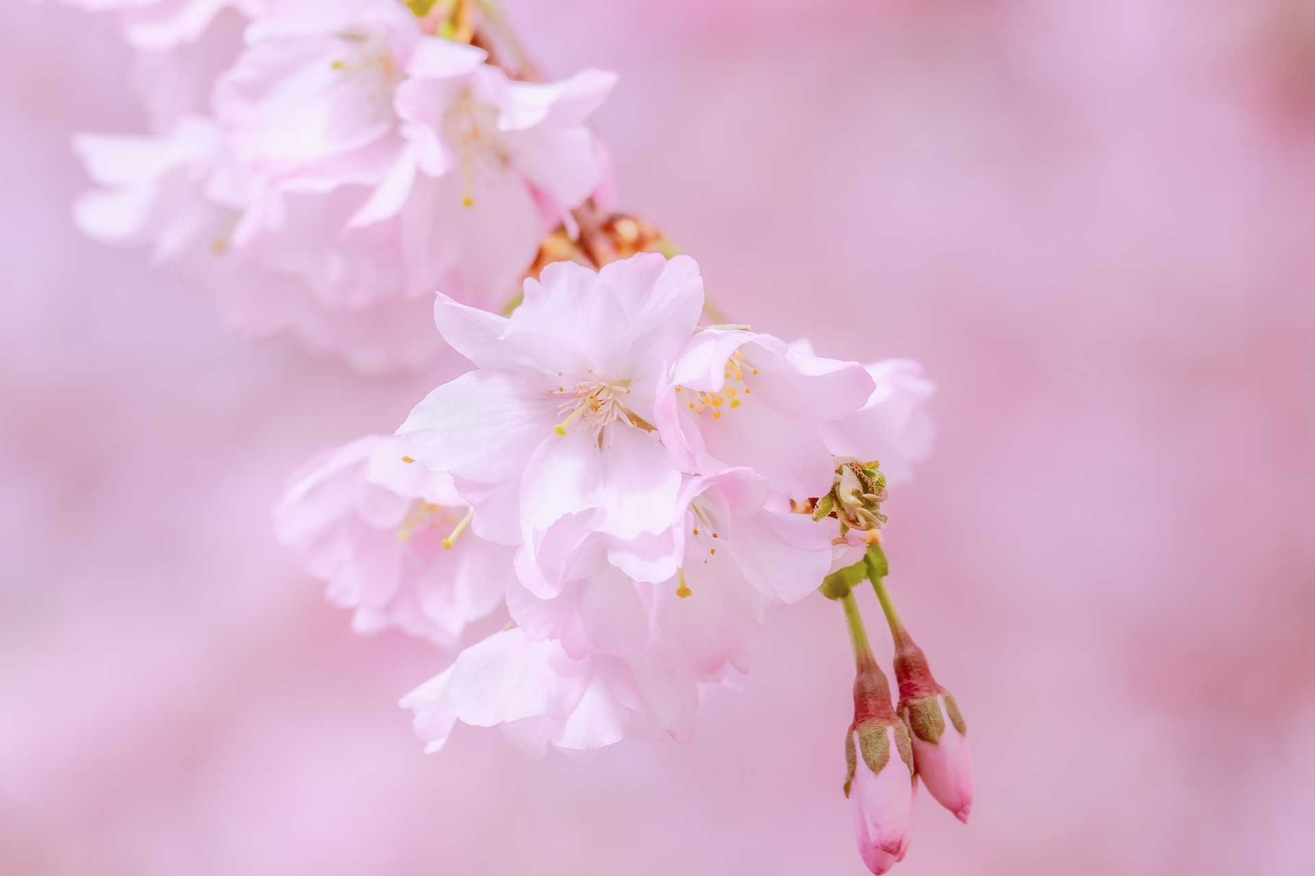 japanese-cherry-trees-4050978_1920.jpg